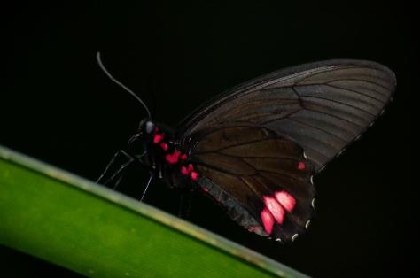 Fjäril mot svart bakgrund