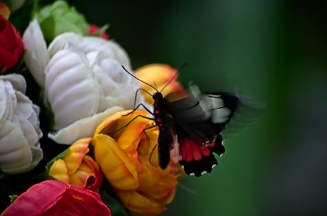 Fjäril i rörelse